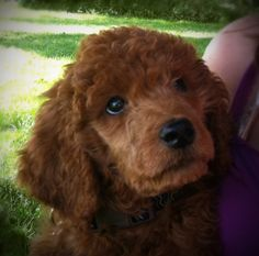 Baby Jack; red standard poodle puppy, 10 weeks old.   Our grand puppy!