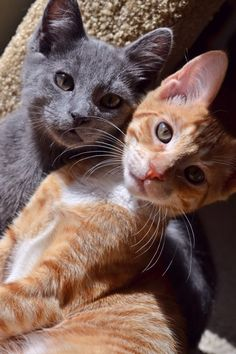 grey or blue cat and yellow tabby