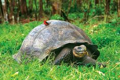 love this Galapagos Giant Tortoise and little bird on the shell