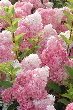 There are so many types, colors, and shapes of hydrangeas. Knowing which varieties thrive in sun and which plant types prefer shade will help you determine the best hydrangea varieties for your yard. #gardentips #gardenflowers #hydrangeas #hydrangeatips #plantcareguide #bhg Hydrangea Tree, Hydrangea Seeds, Hydrangea Shrub, Hydrangea Quercifolia, Hydrangea Garden, Flower Seeds, Pink Hydrangea, Hydrangea For Shade, Full Sun Hydrangea