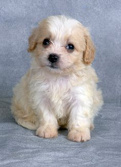 endolane_cavachon puppy
