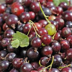 Caseille Josta - blackcurrant gooseberry hybrid, fruits in July   8.99