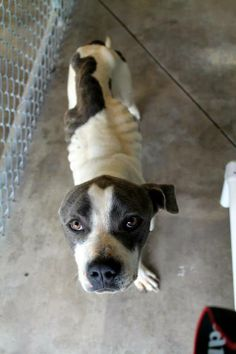 """30 POUNDS UNDERWEIGHT! Ciro is currently on Legal Hold but we need to network for rescue help now! He's alert and sweet and loves to play. He seems healthy besides the obvious """"needing to eat!"""". Please help share this guy. Male, 2-3 Years Old, 40 Pounds(currently), Bulldog Mix. White County Animal Shelter Sparta, TN https://www.facebook.com/WhiteCountyAnimalShelter/photos/a.596374223810328.1073742309.296345430479877/596374423810308/?type=1&theater"""