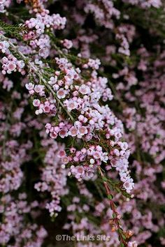 you want a low care plant with pretty pink flowers then I highly recommend the thryptomene! It is wonderful for attracting insects to the garden! Australian Native Garden, Australian Native Flowers, Australian Plants, Australian Garden Design, Winter Plants, Winter Flowers, Winter Garden, Hedges, Back Gardens