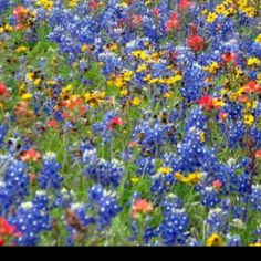 East Texas Wildflowers--I miss seeing bluebonnet lining the roads!
