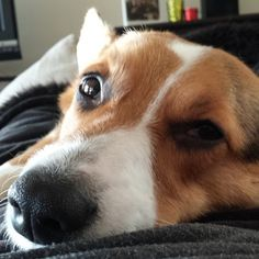 The best part of waking up... is a Corgi in your face.