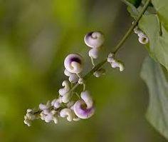 Imagini pentru seminte de spin in imagini