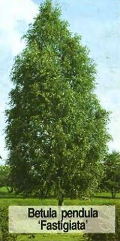 Betula pendula (берёза повислая син. б. бородавчатая) 'Fastigiata'