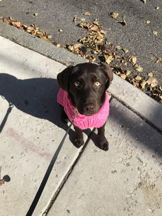 This is Lola and her new pink sweater. http://ift.tt/2jDc6Ph cute puppies cats animals