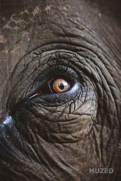 Royalty Free Stock Photos, Illustrations, Vector Art, and Video Clips Photo Elephant, Elephant Eye, Asian Elephant, Grey Elephant, Beautiful Creatures, Animals Beautiful, Photo Oeil, Animals And Pets, Cute Animals