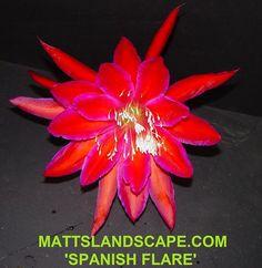 Epiphyllum hybrid 'Spanish Flare'