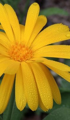 Calendula, My Sunshine, Yellow Flowers, Planting Flowers, Flora, Plants, Spa, Passion, Rose