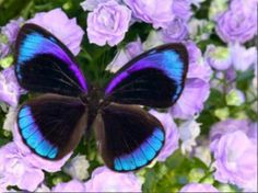 Blue and Black Butterfly on Lavender Flowers, Sammamish, Washington, USA Photographic Print - 16 x 12 in by Darrell Gulin Papillon Butterfly, Butterfly Kisses, Butterfly Flowers, Lavender Flowers, Blue Butterfly, Butterfly Wings, Purple Flowers, Morpho Butterfly, Blue Morpho