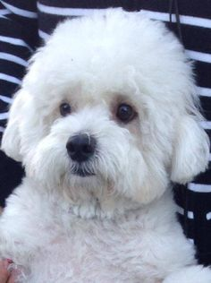 Wat een knappert. Cavachon, Cockapoo, All Breeds Of Dogs, Dog Breeds, Bichon Dog, Teacup Puppies, Bolognese, Archie, Dog Mom