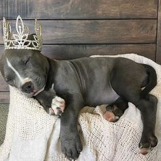 """Pit Bull Princess Hope you're doing well..From your friends at phoenix dog in home dog training""""k9katelynn"""" see more about Scottsdale dog training at k9katelynn.com! Pinterest with over 21,400 followers! Google plus with over 280,000 views! You tube with"""