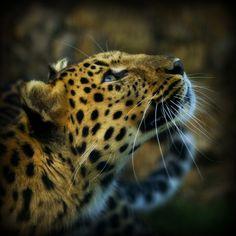 Amur Leopard - WHF (by wendysalisbury)