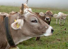 Swiss Alpine milk cow near Crans-Montana, Valais, Switzerland