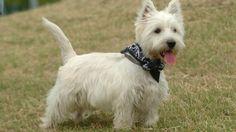 Dal 13 al 15 settembre 2013 va in scena il 5° raduno nazionale del West Hightland White Terrier. Scopri come partecipare all'evento.