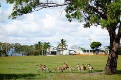 Kangaroos. Turkey Beach. Queensland. Australia.
