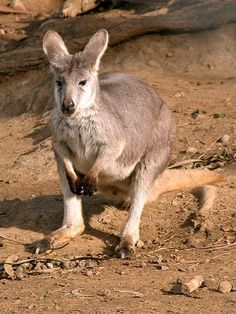 Wallaroos are bigger than wallabies and smaller than kangaroos. They have a stocky and powerful body with shaggy grey or red fur and a black snout. Adult wallaroos can weigh anywhere from 40 to 50 pounds for females and 50 to 100 pounds for males.