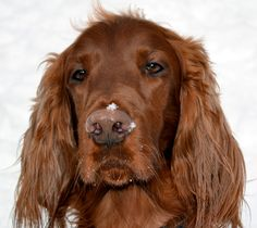 Clancy upclose!!! Irish setter