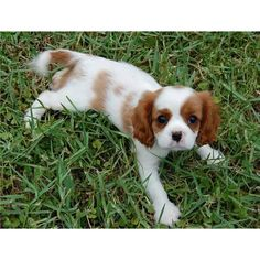 I can't handle how cute these are! Can't wait until I get my own little puppy.  Cavalier King Charles Spaniel Puppies