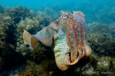 The International Union for Conservation of Nature's red list of threatened species – a key indicator of the health of the world's biodiversity – has been republished, and the giant Australian cuttlefish (Sepia apama) is now a near-threatened species. It is one of more than 1,900 species newly recorded on the list – of the 63,837 species assessed, 19,817 are threatened with extinction, including 41% of amphibians, 33% of reef building corals, 25% of mammals, 13% of birds, and 30% of conifers…