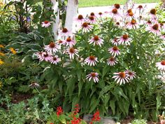 Coneflowers (Echinacea), rugged native American plants, bloom throughout summer. Here are some growing tips to get the most from these popular plants.