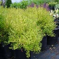 Sunshine Ligustrum | Nature Hills Nursery