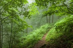 Path through the forest with green ferns lining the path.  Mysterious.  Green misty forest by Evgeni Dinev, via Flickr