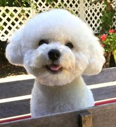 Cortes Poodle, Zoo Animals, Cute Animals, Cute Puppies, Dogs And Puppies, Coton De Tulear Dogs, Puppy Room, Dog Boarding, White Dogs