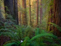 California, Del Norte Redwoods State Park, ancient, old-growth, forest, morning
