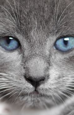 Beautiful face ~ cat with blue eyes