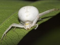 Araña Cangrejo.