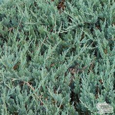 Mature sabin juniperus mature operators width