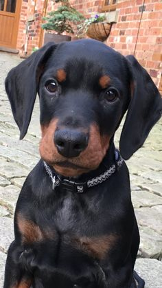 AJ Doberman 12 weeks old