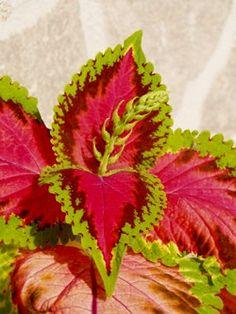 Coleus, Decoration, Gardens, Succulents, Plants, Flowers, Decor, Decorations, Decorating
