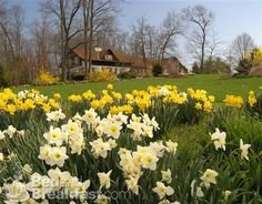 Swiss Woods B&B in Lititz, PA has done a beautiful job planting their fall bulbs! Look at those daffodils!