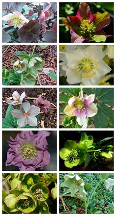 1000+ images about LENTEN ROSES on Pinterest