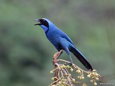 Turquoise Jay  Cyanolyca turcosa  Reserva Geobotánica Pululahua, Pichincha province, Ecuador.  These beautiful birds, often conspicuous and noisy, are nearly endemic to Ecuador. They barely get into southern Colombia and northern Peru. (S5)