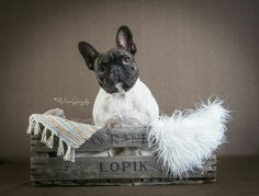 Nell, the French Bulldog ❤