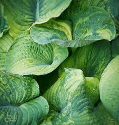 Hosta 'Filigree' - a mottled hosta  **Before ever purchasing a mottled Hosta, especially if the leaves are twisting, make sure it isn't a strain that was created using Hosta Virus X. If it is & you plant it near other Hostas, your other Hostas will contact the virus & twist & mottle too. Virus X does not go away & lives in the ground where infected Hosta were planted.