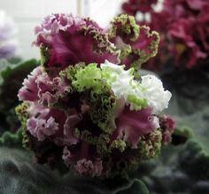 Image result for LE-Shantal Plant African Violet