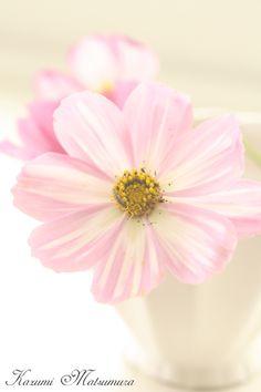 コスモス1輪ピンク