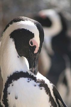 Boulders penguins © Jenniflowers