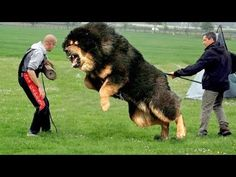 Most Protective Guard Dogs You Can't Mess With – Pets, Dogs, Cats Caring Tips and Pictures Huge Dog Breeds, Huge Dogs, Giant Dogs, Large Animals, Animals And Pets, Funny Animals, Cute Animals, Funny Dog Videos, Funny Dogs