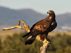 GoldenEagle (Aquila chrysaetos) Raptor Bird Of Prey, Birds Of Prey, Harpy Eagle, Bald Eagle, Golden Eagle, Big Bird, Exotic Birds, Raptors, Eagles