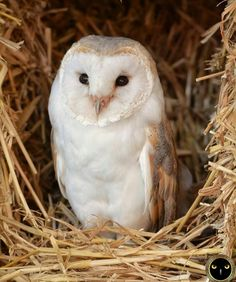 High end real-estate for Barn Owls. Straw castles.