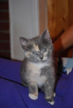 Marble - one of a litter of 4 kittens rescued from Bethany Community Church (Mittens, Sox, Peaches, Marble).  7 - 8 weeks old.  Now adopted and named Ginger.