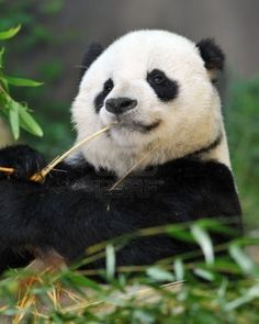 This looks just like Pappa Gao Gao at the San Diego Zoo  <3